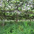 Gấc Việt Nam, từ vườn nhà ra thế giới
