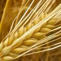 10 lợi ích sức khỏe của nước lúa mạch