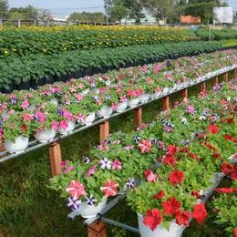 Hoa cảnh Tết cho thị trường phương Nam: nhiều giống cây mới