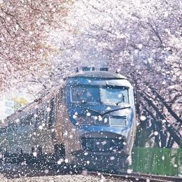 Ngồi xe lửa ngắm hoa anh đào ở Jinhae