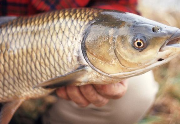 Nuốt mật cá trắm: cẩn thận rước họa