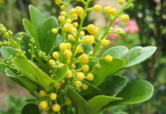 Tháng Ngâu, hái hoa ngâu để chữa bệnh