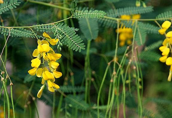 Những đóa mai vàng mùa nước nổi