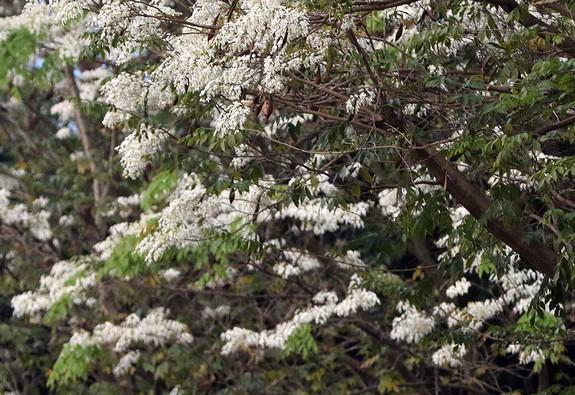Hà Nội, lại một mùa hoa sưa