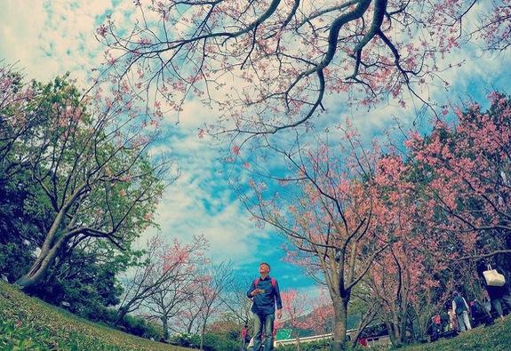 Ngắm hoa anh đào trên núi Dương Minh