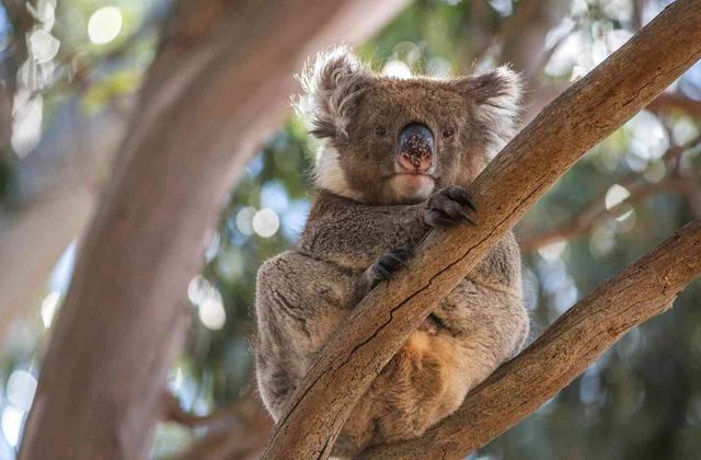 Kangaroo Island: đến thật gần thiên nhiên hoang dã - Ảnh 14.