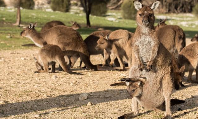 Kangaroo Island: đến thật gần thiên nhiên hoang dã - Ảnh 15.