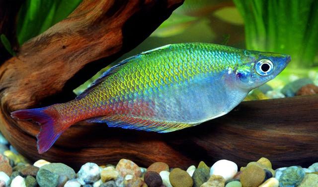 8 loài cá cảnh đẹp... trong bể - Ảnh 3.