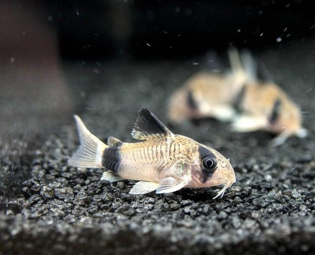 8 loài cá cảnh đẹp... trong bể - Ảnh 1.