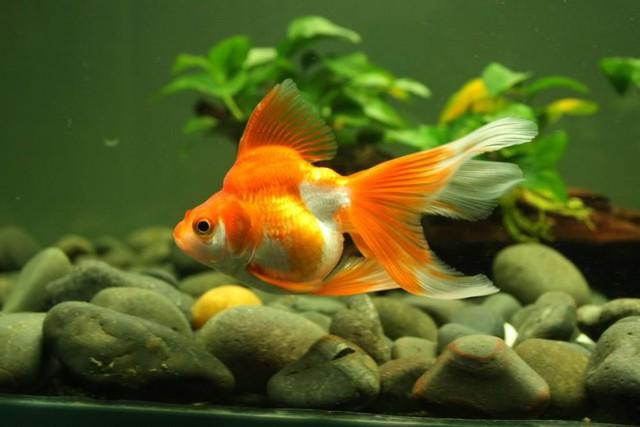 8 loài cá cảnh đẹp... trong bể - Ảnh 4.
