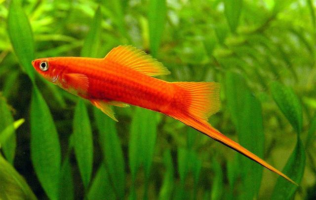 8 loài cá cảnh đẹp... trong bể - Ảnh 8.