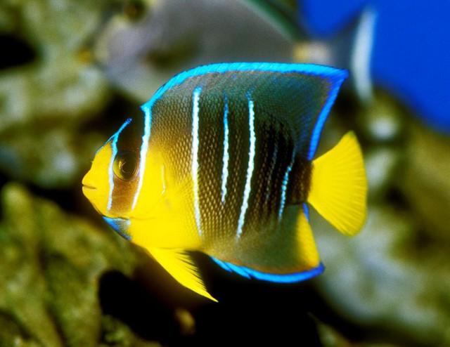 8 loài cá cảnh đẹp... trong bể - Ảnh 7.