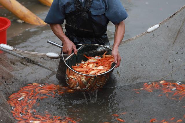 Làng cá chép đỏ Thủy Trầm trước ngày 23 tháng Chạp - Ảnh 4.