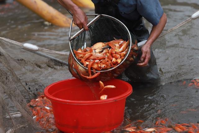 Làng cá chép đỏ Thủy Trầm trước ngày 23 tháng Chạp - Ảnh 5.
