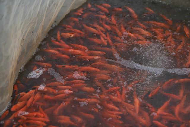 Làng cá chép đỏ Thủy Trầm trước ngày 23 tháng Chạp - Ảnh 8.