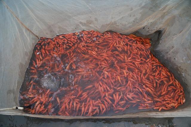 Làng cá chép đỏ Thủy Trầm trước ngày 23 tháng Chạp - Ảnh 9.