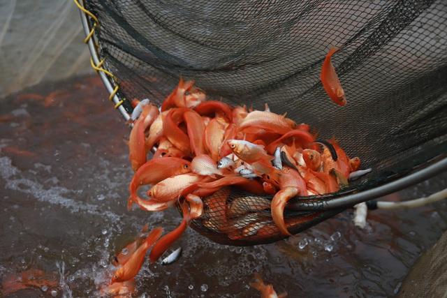 Làng cá chép đỏ Thủy Trầm trước ngày 23 tháng Chạp - Ảnh 12.