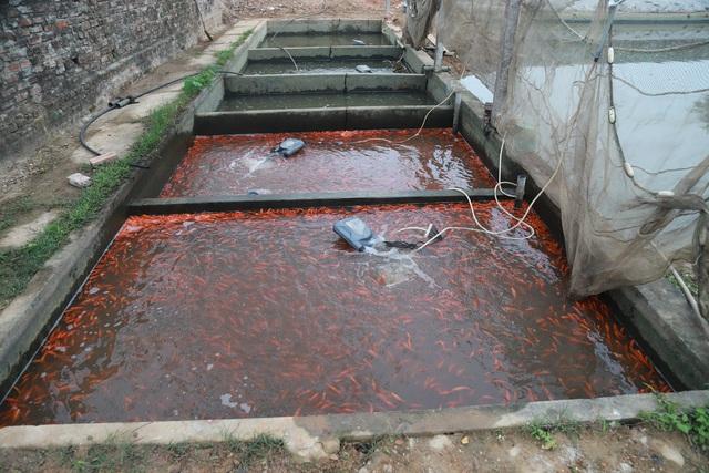 Làng cá chép đỏ Thủy Trầm trước ngày 23 tháng Chạp - Ảnh 13.