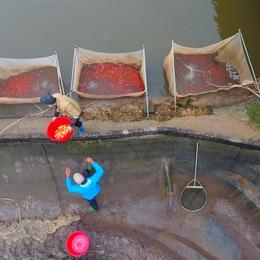 Làng cá chép đỏ Thủy Trầm trước ngày 23 tháng Chạp